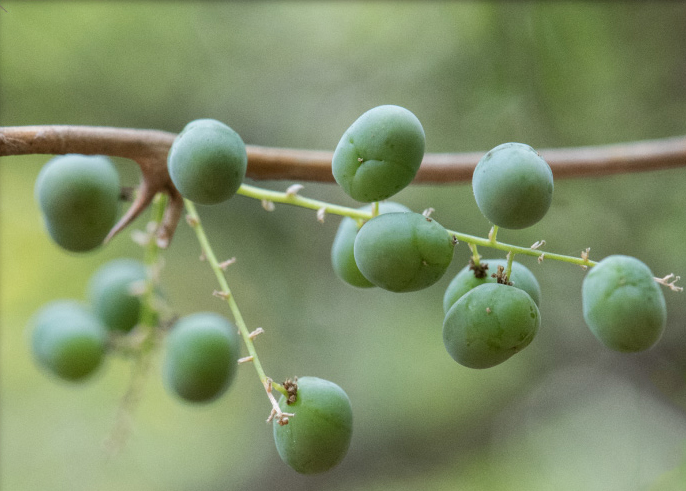 Unripe-fruits-of-Indian-asparagus