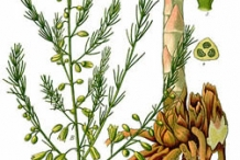 Plant-Illustration-of-Indian-asparagus