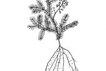Sketch-of-Indian-asparagus