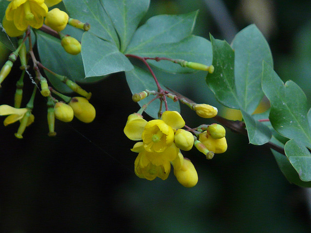 Indian-Barberry-flower