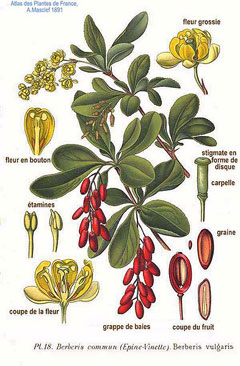 Indian-Barberry-illustration