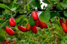 Indian-Barberry-fruit