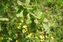 Indian-Barberry-leaves