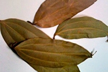 Indian-Bay-Leaf--Tamala-cassia
