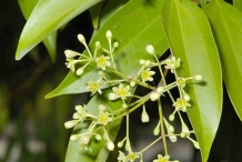 Indian-Bay-Leaf--Thikya-bo