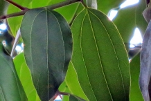 Indan-Bay-Leaf--Indian-cassia