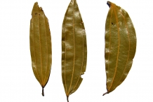 Indian-Bay-Leaf--Tejpat