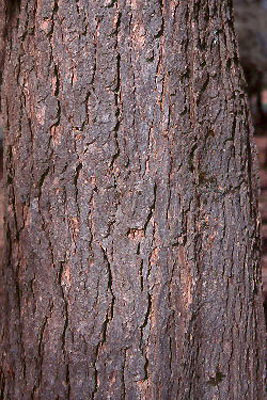 Bark-of-Indian-bean-tree