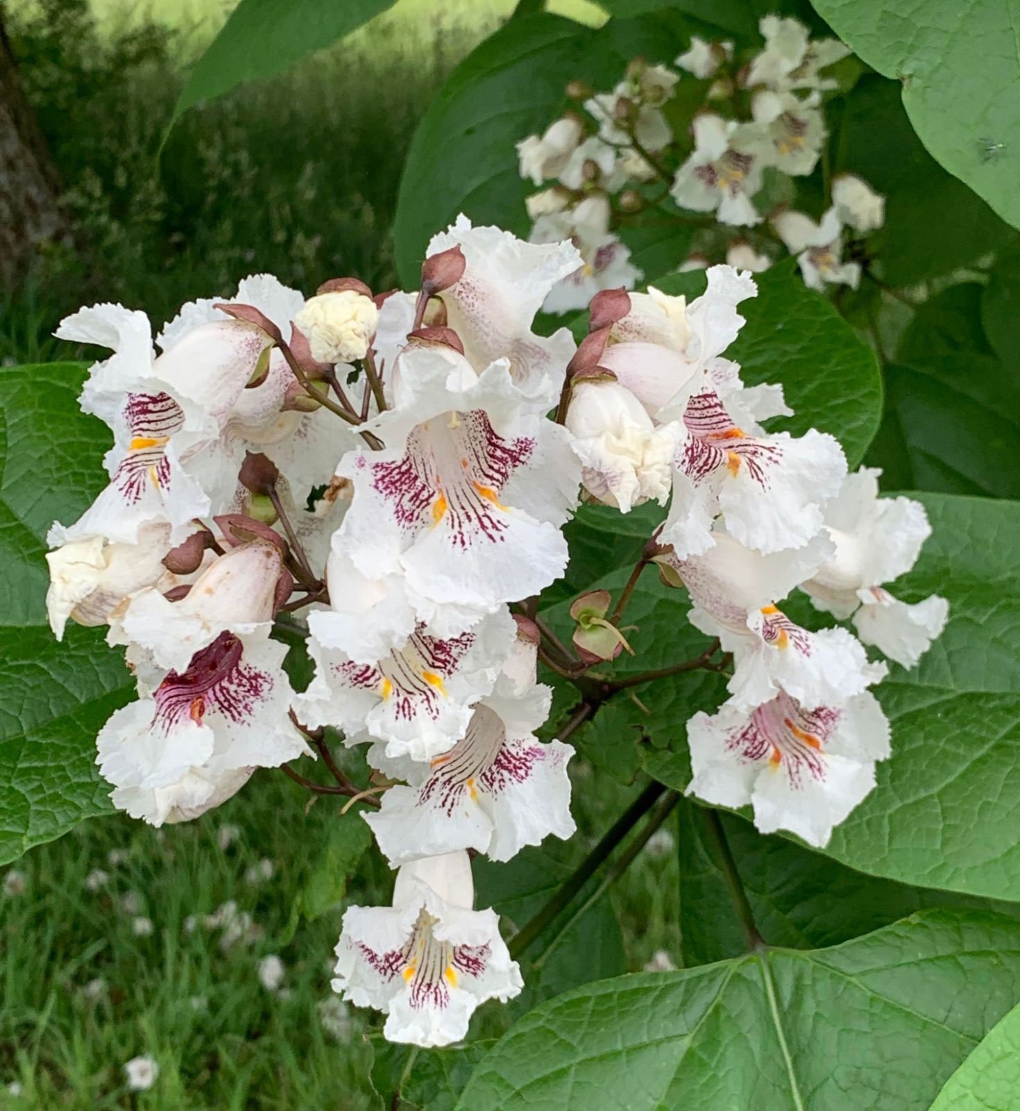 Flowers-of-Indian-bean-tree