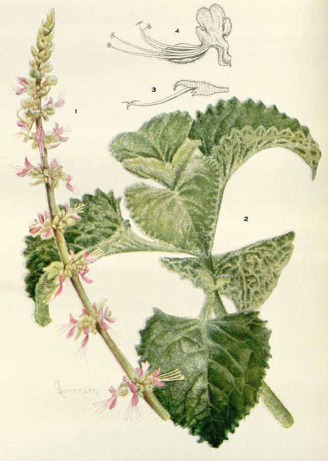 Plant-Illustration-of-Indian-Borage