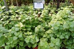 Indian-Borage-gardening