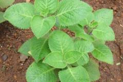 Indian-Borage-plant