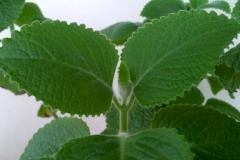 Leaves-of-Indian-Borage-plant