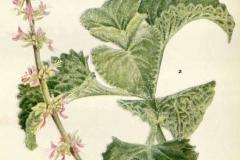 Plant-Illustration-of-Indian-Borage
