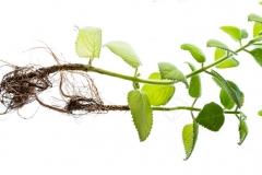 Whole-Indian-Borage-plant-harvested