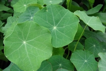Closer-view-of-Leaves-of-Indian-cress