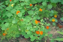 Indian-cress-plant