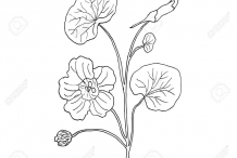 Sketch-of-Indian-cress
