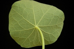 Underside-of-leaf-of-Indian-cress