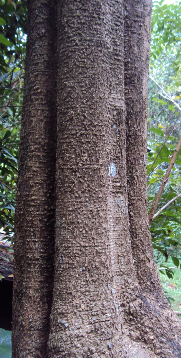 Bark-of-Indian-devil-tree
