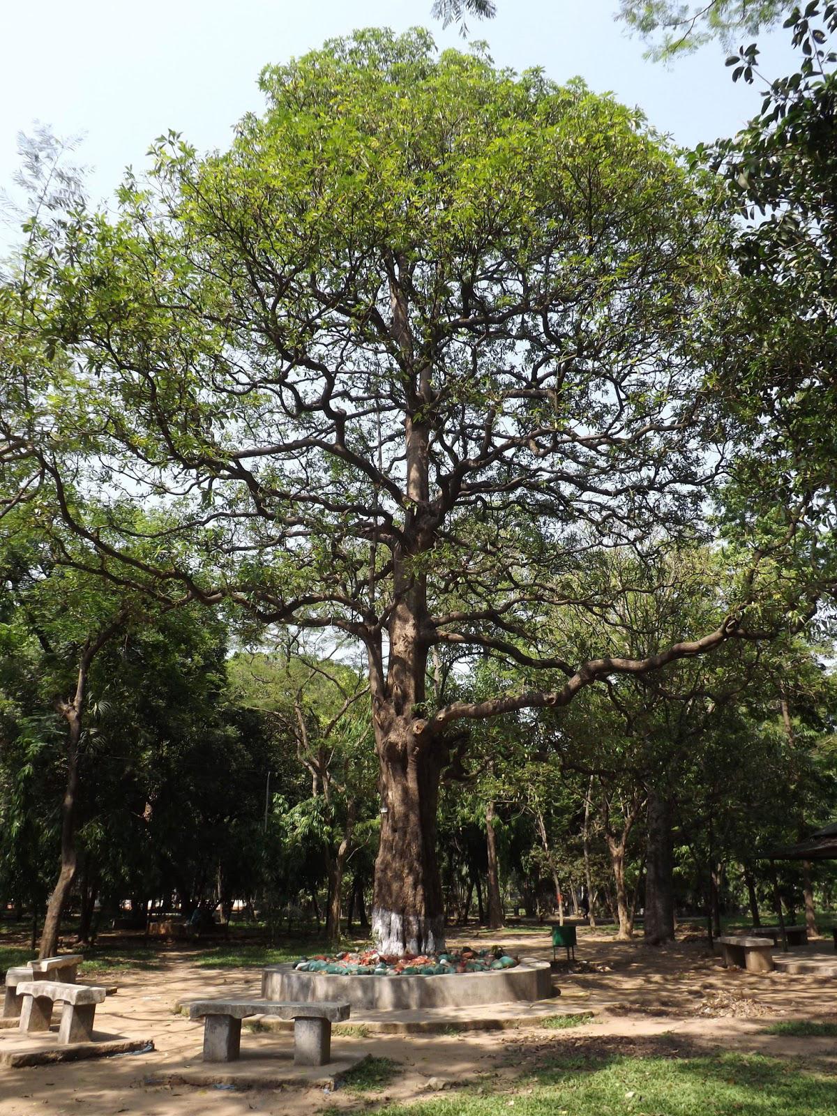 Indian-devil-tree