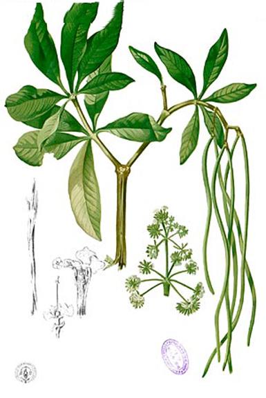 Plant-illustration-of-Indian-devil-tree