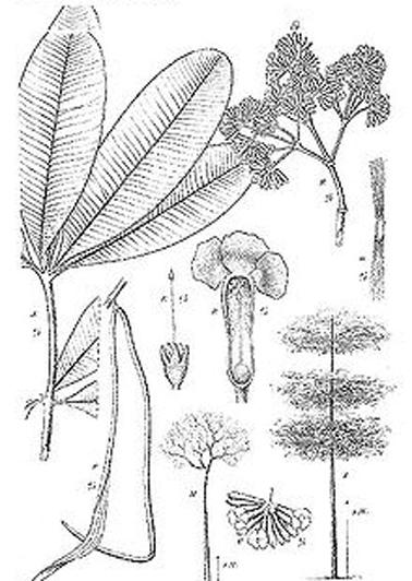 Sketch-of-Indian-devil-tree