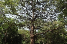 Indian-devil-tree
