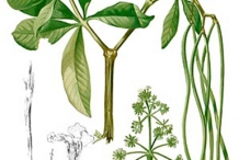 Plant-illustration-of-Indian-devil-tree
