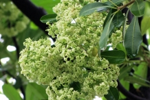 Flower-of-Indian-devil-tree