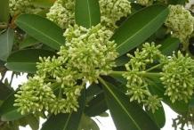 Flowering-buds-of-Indian-devil-tree