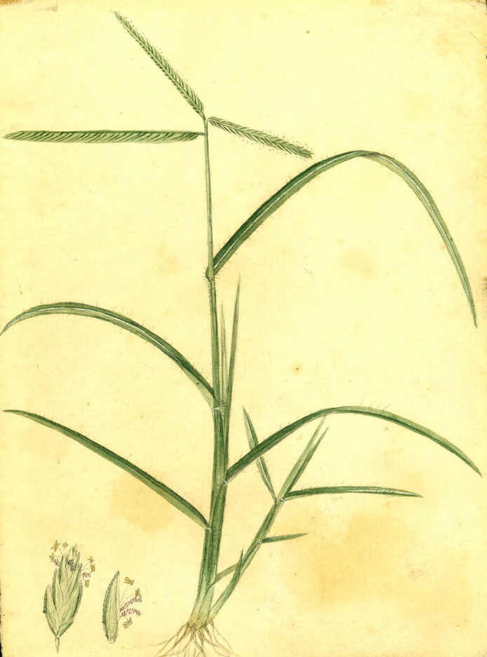 Illustration-of-Indian-Goosegrass