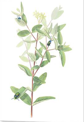 Plant-illustration-of-Indian-Hemp