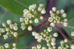 Indian-Hemp-flowers