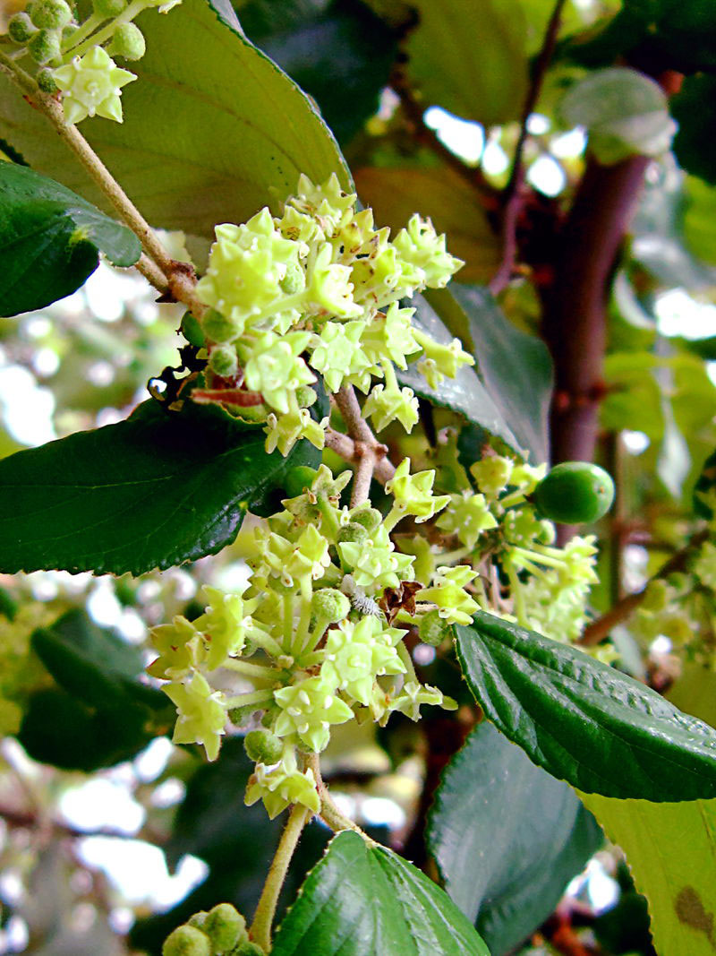 Flowers-of-Indian-jujube