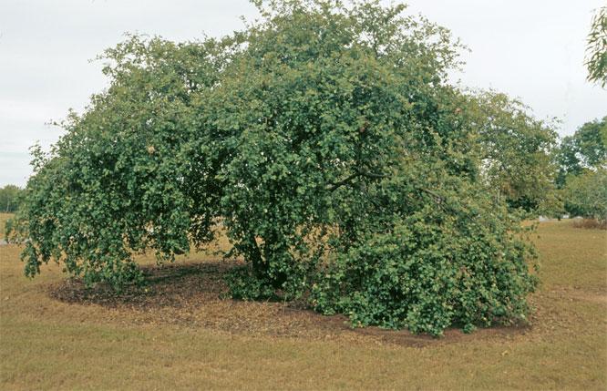 Indian-jujube-tree