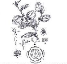 Sketch-of-Indian-jujube