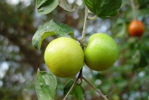 Immature-Indian-jujube-on-the-tree