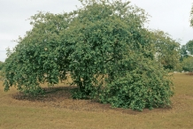 Indian-jujube-tree