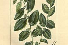 Plant-Illustration-of-Indian-jujube