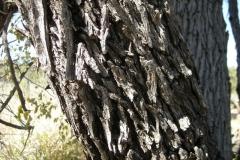 Bark-of-Indian-jujube-tree