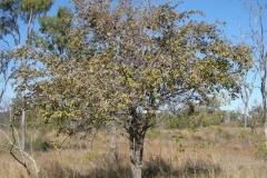 Indian-jujube-tree-growing-wild
