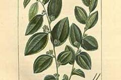 Plant-Illustration-of-Indian-jujube