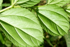 Ventral-view-of-leaves-of-Indian-Jujube