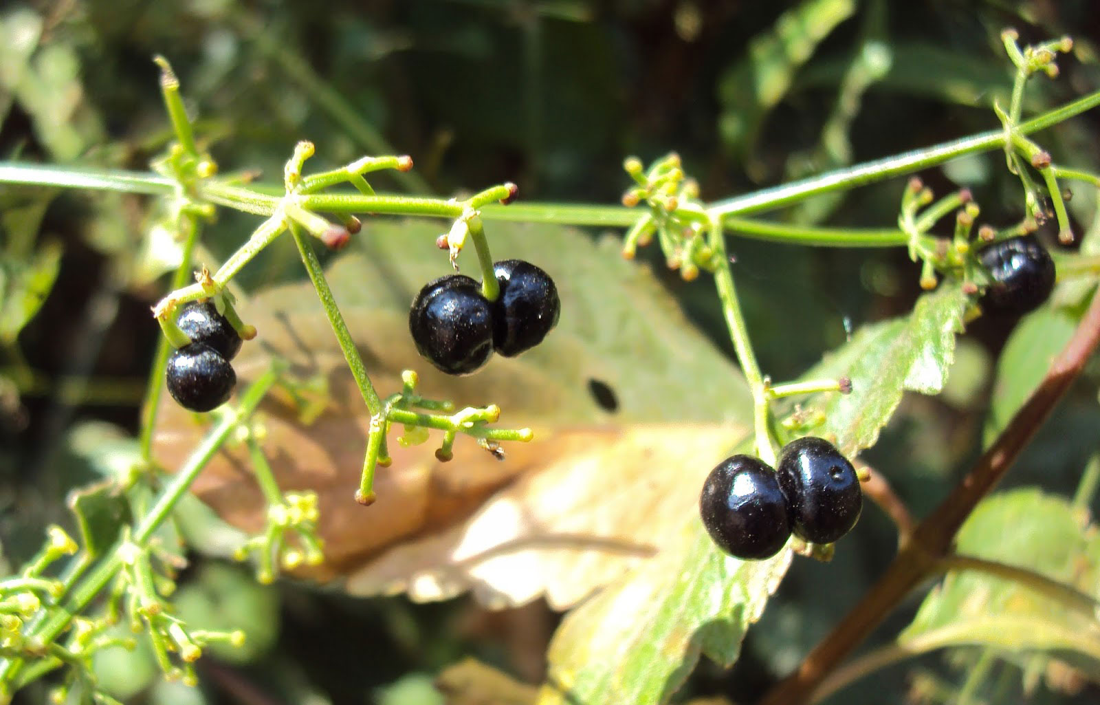 Mature-fruits-of-Indian-Madder