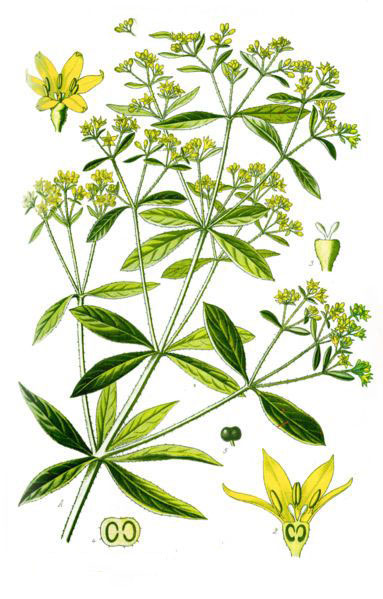 Plant-Illustration-of-Indian-Madder