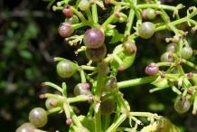 Unripe-Indian-Madder-fruits