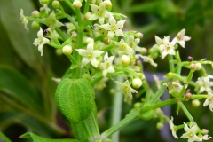 Flowers-of-Indian-Madder