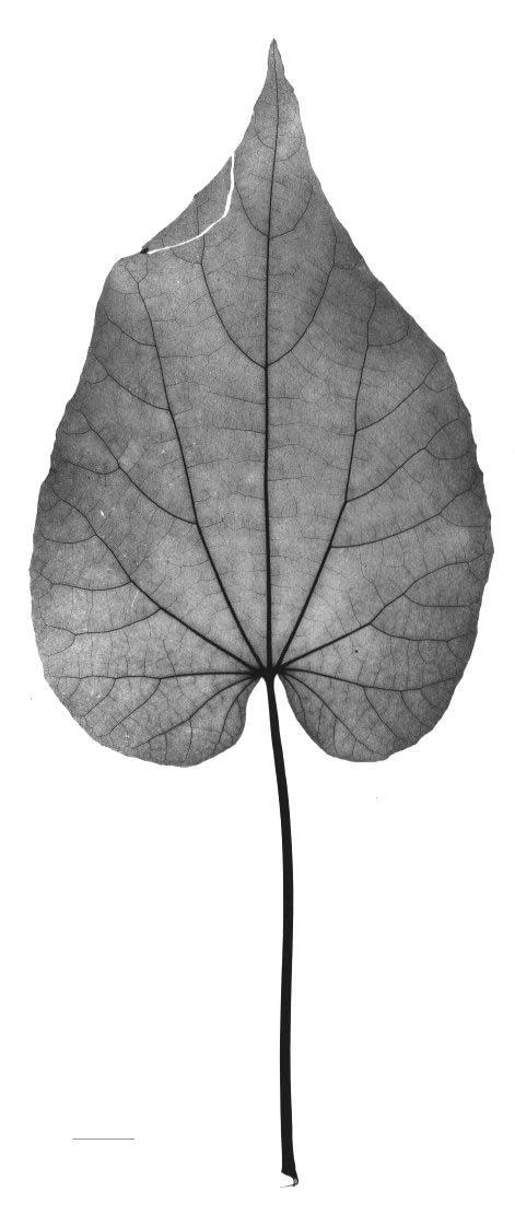 Dried-Leaf-of-Indian-Mallow
