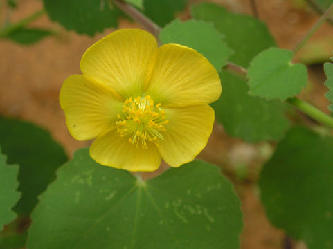 Flower-of-Indian-Mallow